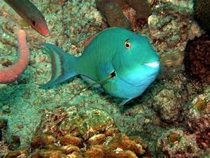 Panoramio - Photo of Yellowtail Parrotfish Sparisoma ...