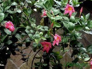 Arbuste Fleuri En Pot : br sil plante tout ~ Premium-room.com Idées de Décoration