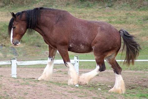 cold horse horses blooded warm clydesdale blood difference vs breed