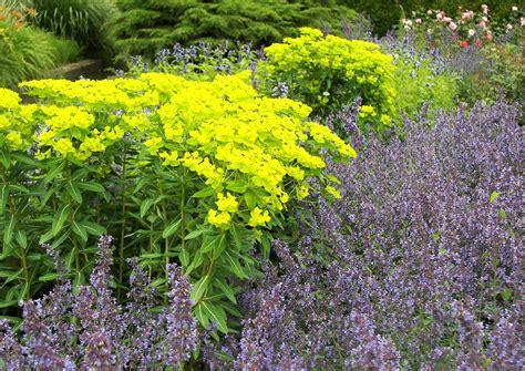 Nepeta Grandiflora Und Euphorbia Cornigera Goldener Turm