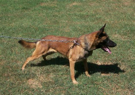 100 belgian malinois vs german shepherd shedding