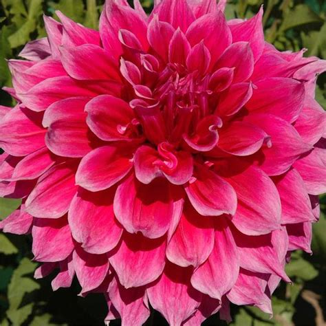 grow dahlia how to grow dahlias the garden glove