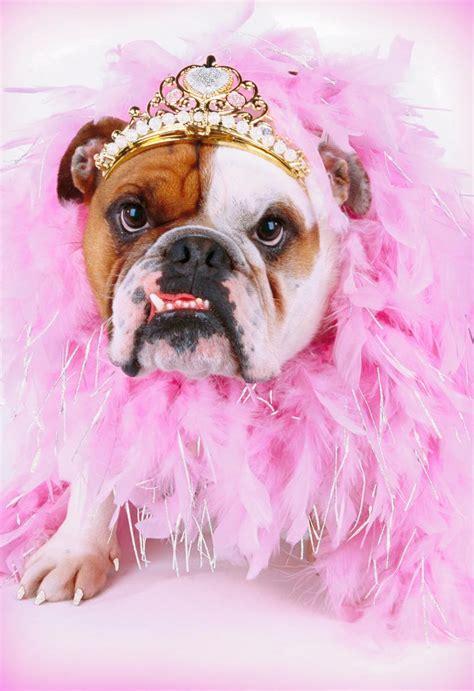 fancy bulldog   tiara funny thinking   card