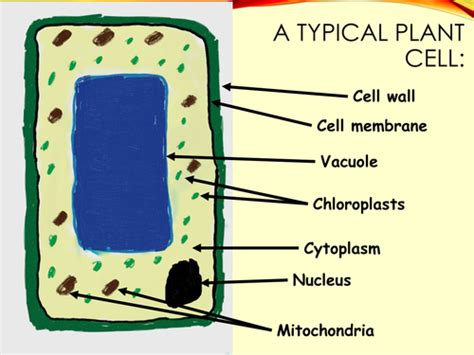 Plant Cell Diagram For New Curriculum Neonblue