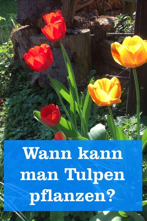 wann tulpenzwiebeln pflanzen wann werden tulpenzwiebeln in den boden gebracht