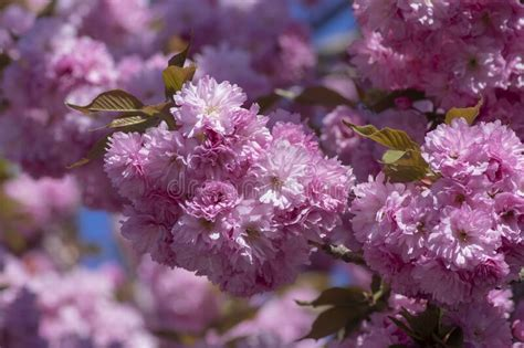 Prunus Serrulata Japanese Cherry Sakura Tree Branches In