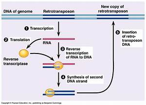 Retrotransposons  Retrovirus