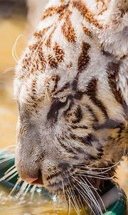 White Tiger   Big cats photography, Animals beautiful ...