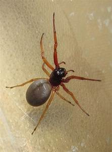 broad, faced, sac, spider