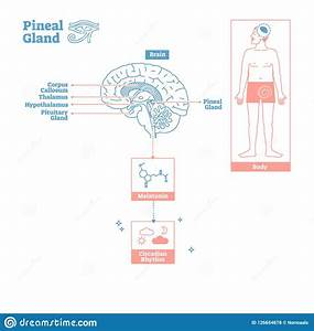 Pineal Gland Of Endocrine System Medical Science Vector