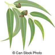 eucalyptus illustrations  clip art  eucalyptus