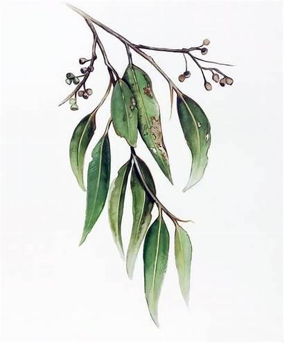 Leaves Australian Native Gum Eucalyptus Drawing Tree