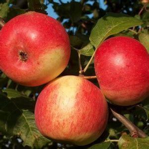AGRA - Vasaras ābele