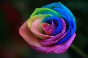 how much are a dozen roses rainbow roses are special flowers for the