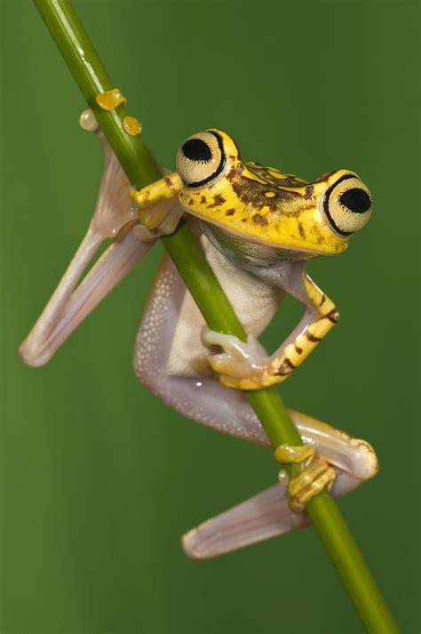 chachi tree frog hypsiboas picturatus photograph  pete