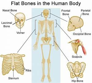 A List Of All The Flat Bones In The Human Body With Diagrams