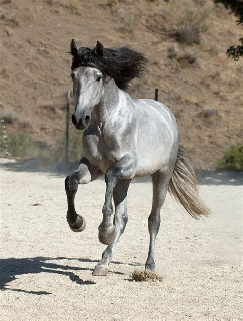 andalusian horses horse pretty grey colors andalusians most silver want spanish mane pre animal