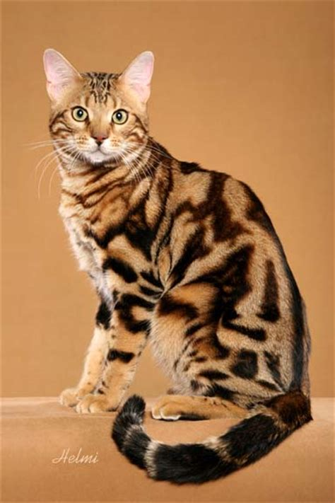 Is My Cat A Bengal?  Bengal Cats  Bengals Illustrated