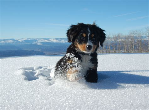 bernese mountain dog puppy in a snowdrift wallpapers and images wallpapers pictures photos