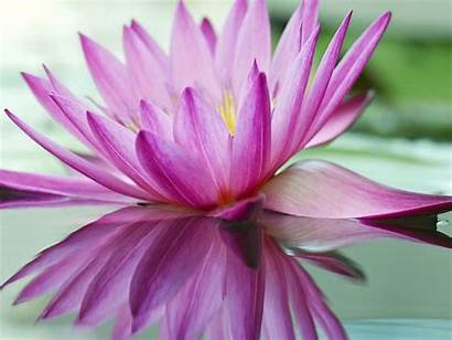 Lotus Purple Flowers Pond Flower Resolution Wallpapers
