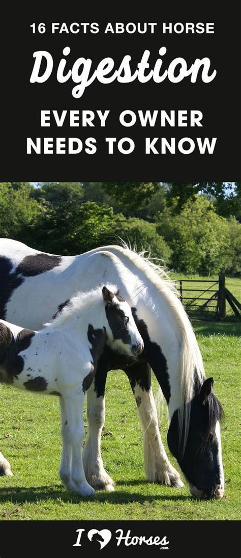 horse facts horses digestive digestion every know ihearthorses owner needs system