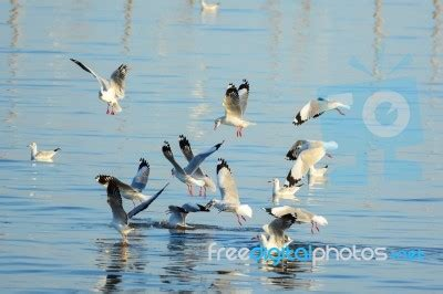 id馥 cuisine surface seagulls are snatching food on the surface of the sea stock photo royalty free image id 100438864