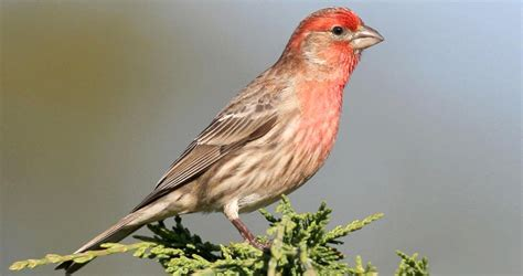 pictures of house finches bird house finch history all about birds cornell lab of ornithology