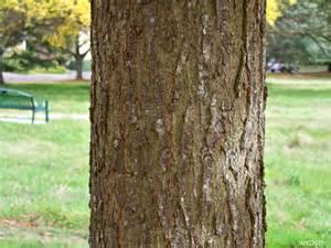 Scarlet Oak Tree Bark