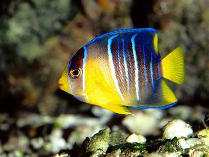 Fishes Wallpapers Fish Freshwater Tropical Yellow Angelfish