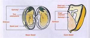 Baby Plant Project   Seed Structure And Function