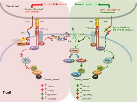 Pd-l1/2 Pathway From Discovery To