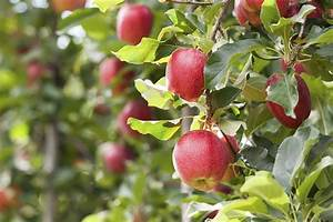 Did Johnny Appleseed Really Plant Apples All Over America