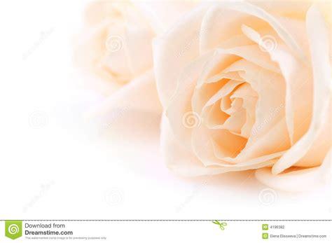 beige roses background stock photography image
