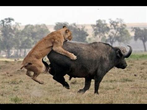 animal piano elefante amigo salva um búfalo leões vs búfalo vs