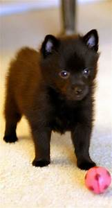 469 best images about Schipperkes on Pinterest