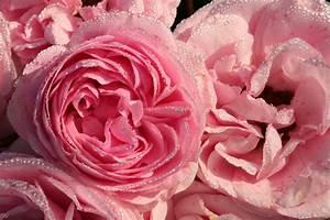 Rosen Schneiden Wann : gartentipps rosen schneiden ~ Eleganceandgraceweddings.com Haus und Dekorationen