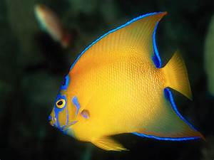 Screen Themes - Coral Reef Fish - Queen Angelfish; Image ONLY