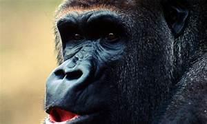 Cross River Gorilla | Photos | WWF