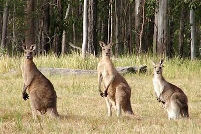 Kangaroo Amazing Animal Nice Standing Three Row
