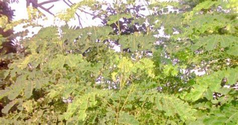 pohon trembesi jual tanaman hias