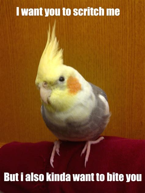 Cockatiel Memes - 227 best images about i m a bird nerd on pinterest display folder birds and bird cages