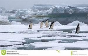 Pingouin Sur La Banquise : pingouins d 39 adelie sur la banquise en antarctique image stock image 65821657 ~ Melissatoandfro.com Idées de Décoration