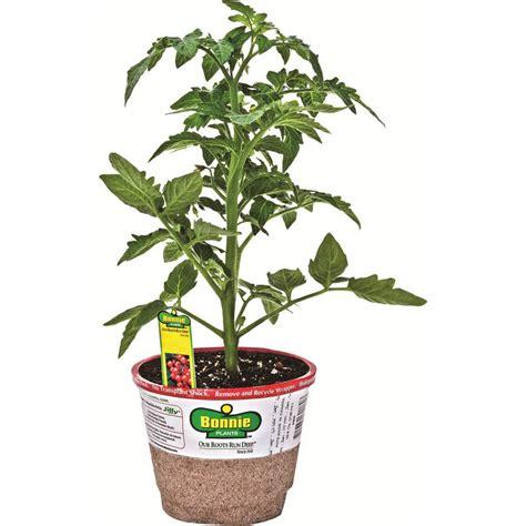 shop bonnie 1 count tomato plant at lowes