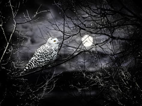 Creepy Owl Wallpapers by Why Do Owls Come Out At World Of Living