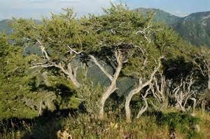 Mountain Mahogany Tree