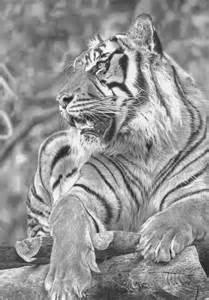 Realistic Tiger Drawings