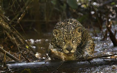 Black Jaguar Animal Hd Wallpapers 1080p - jaguar animal wallpapers jaguar pictures images 1080p