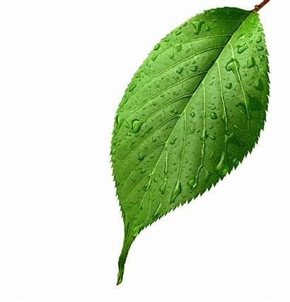 Leaf Leaves Apple Dew Transparent Drop Clipart