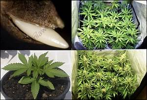 Flowering In Cannabis Plants