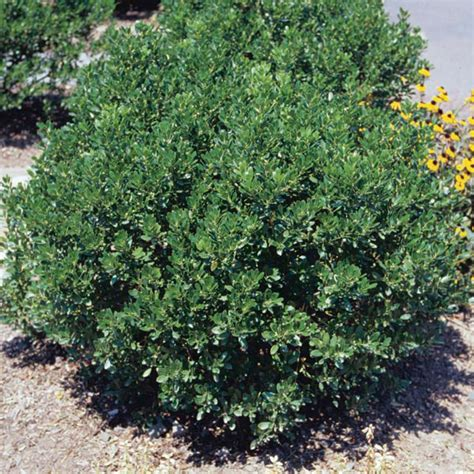 indoor plants low maintenance inkberry 39 shamrock 39 ilex glabra my garden